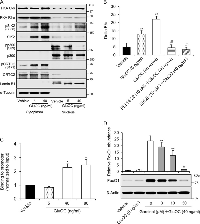 Role of CREB transcriptional co-activators in the upregulation of FoxO1 expression by high-dose GluOC in 3T3-L1 adipocytes. a Immunoblot analysis of cytoplasmic and nuclear fractions isolated from 3T3-L1 adipocytes after stimulation with GluOC (5 or 40 mg/ml) for 6 h. The blot is representative of five independent experiments. The relative amount of cytoplasmic and nuclear fractions analyzed was adjusted so as to obtain appropriate band intensities. Lamin B1 and α-tubulin were examined as loading controls for nuclear and cytoplasmic fractions, respectively. b HTRF analysis of the p300–CREB interaction in 3T3-L1 adipocytes incubated first in the absence or presence of 10 μM myristoylated PKI 14-22 amide or 10 µM U0126 and then in the additional absence or presence of GluOC (5 or 40 ng/ml) for 6 h. Data are means + SEM from 10 independent experiments. ** p