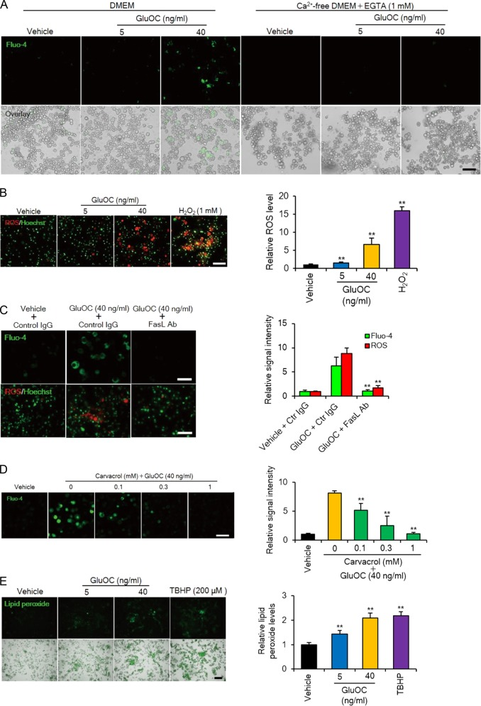 Calcium influx, as well as ROS and lipid peroxide production induced by high-dose GluOC in 3T3-L1 adipocytes. a Cells were incubated with GluOC (5 or 40 ng/ml) in the absence or presence of extracellular Ca 2+ for 24 h and then loaded with Fluo-4 for fluorescence imaging of intracellular Ca 2+ (upper panels). The fluorescence images are also shown merged with differential interference contrast images (lower panels). Data are representative of three independent experiments. Scale bar, 100 µm. b Cells were incubated with GluOC (5 or 40 ng/ml) or 1 mM H 2 O 2 for 12 h, after which nuclei were stained with Hoechst 33342 (green) and ROS were detected with CellROX Oxidative Stress Reagent (red). Representative images, as well as quantitative data (means + SEM) from three independent experiments are shown. Scale bar, 100 µm. ** p
