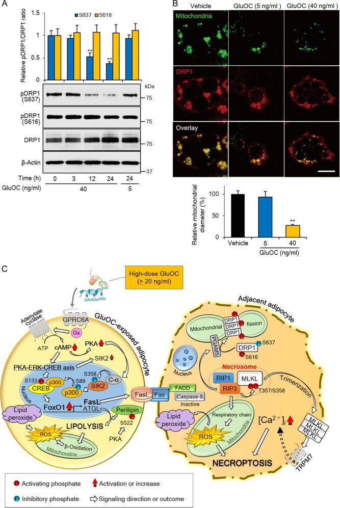 Activation of DRP1 and mitochondrial fragmentation induced by high-dose GluOC in 3T3-L1 adipocytes. a Cells were exposed to GluOC (5 or 40 ng/ml) for 3–24 h, after which cell lysates were subjected to immunoblot analysis with antibodies to total or Ser 637 - or Ser 616 -phosphorylated forms of DRP1. A representative blot, as well as quantitative data (means + SEM) from four independent experiments are shown. ** p