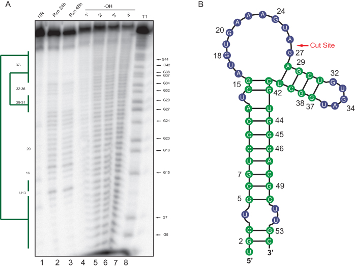 In-line structure probing of LIMD1 -54. ( A ) An in-line reaction (Rxn) was performed at room temperature for 24 h (lane 2) or 48 h (lane 3) at pH 8.3 to identify structured regions of the LIMD1 -54 RNA. Ladders were generated by subjecting the RNA to cleavage by RNase T1 (lane 8) or alkaline hydrolysis (–OH, lane 4–7). Products were separated by 8% urea PAGE, whereupon structured regions protected from cleavage were identified (green bars). No reaction (NR, lane1) refers to the input RNA. ( B ) Diagram showing the LIMD1 -54 structure as deduced from the in-line probing gel. Green color corresponds to the structured regions denoted by the bars in ( A ), while blue refers to unstructured regions.