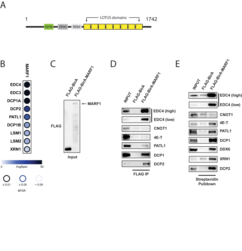 MARF1 interacts with the DCP1:DCP2 mRNA decapping complex. ( A ) Schematic diagram of full-length MARF1. ( B ) Dot plot depicting high-confidence protein interactions identified by affinity purification of FLAG-MARF1 in HEK293 cells. SAINT analysis of two independent experiments was performed and a subset of high-confident preys is presented in this dot plot. Node color represents the average spectral counts, and the node edge color corresponds to the SAINTexpress Bayesian FDR value (BFDR). ( C ) Western blot analysis of lysates derived from HEK293 cells expressing either FLAG-BirA* or FLAG-BirA*-MARF1 and probed with anti-FLAG antibody. ( D ) Immunoprecipitation (IP) of FLAG-BirA* and FLAG-BirA*-MARF1 from benzonase–treated HEK293 cell extracts using anti-FLAG antibody. Immunoprecipitated complexes were separated by SDS-PAGE and probed with antibodies against the indicated proteins. ( E ) Streptavidin pulldowns of biotinylated proteins from benzonase-treated lysates outlined in (C). Precipitated proteins were subjected to SDS-PAGE and probed with antibodies against the indicated endogenous proteins. Inputs represent 2% of total lysates.