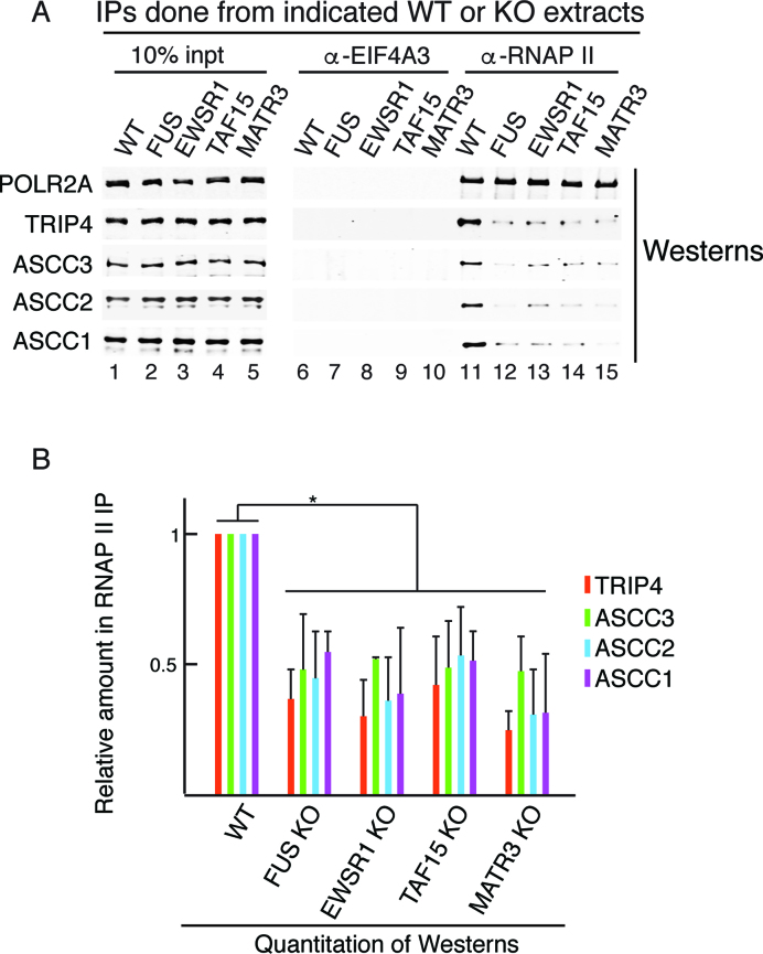 All four ALS proteins mediate association of the ASC-1 complex with the RNAP II/U1 snRNP machinery. ( A ) IP/Western analysis of ASC-1 components associated with the RNAP II/U1 snRNP machinery in WT or KO lines. ( B ) Three independent replicates of the IP/Westerns shown in (A) were quantitated. The bars indicate the mean values of fold change. Error bars represent standard deviations. * P