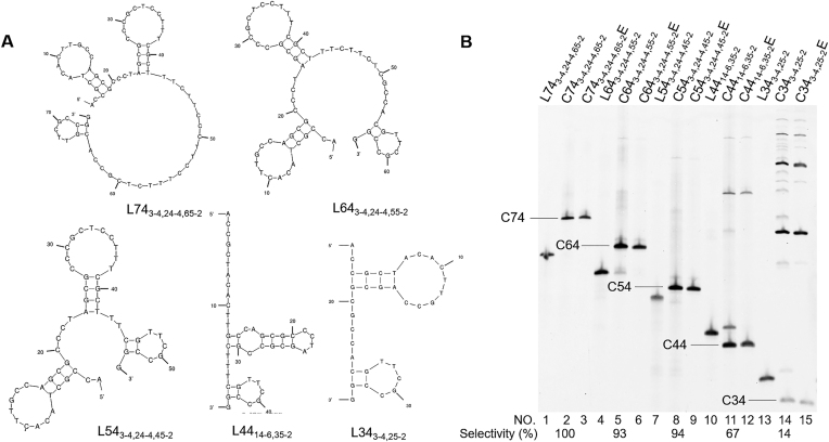 Terminal hairpin strategy for T4 DNA ligase-mediated preparation of DNA rings of smaller sizes. ( A ) Solution structures of 74-, 64-, 54-, 44- and 34-nt l-DNAs. ( B ) Gel electrophoresis patterns of the T4 ligase ligation products. The conditions of T4 ligase reactions are the same as described in Figure 2 .