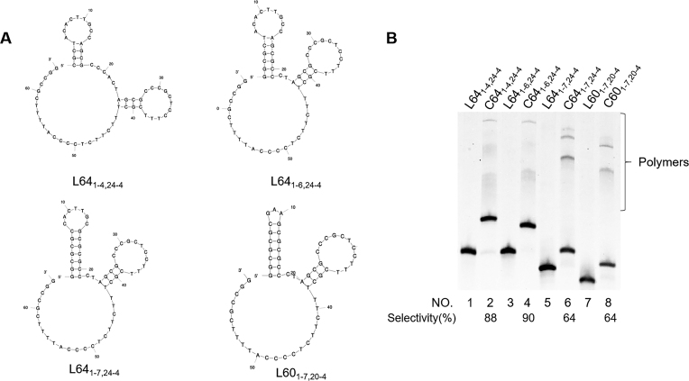 Effects of the stability of hairpin on the cyclization by T4 DNA ligase. ( A ) The solution conformations of L64 1-4,24-4 , L64 1-6,24-4 , L64 1-7,24-4 and L60 1-7,20-4 , determined by Mfold calculation. ( B ) Lane 1, L64 1-4,24-4 without T4 ligase treatment; lane 2, L64 1-4,24-4 with T4 ligase treatment; lane 3, L64 1-6,24-4 alone; lane 4, L64 1-6,24-4 with T4 ligase treatment; lane 5, L64 1-7,24-4 alone; lane 6, L64 1-7,24-4 with T4 ligase treatment; lane 7, L60 1-7,20-4 alone; lane 8, L60 1-7,20-4 with T4 ligase treatment. The enzymatic conditions are the same as described in Figure 2 .
