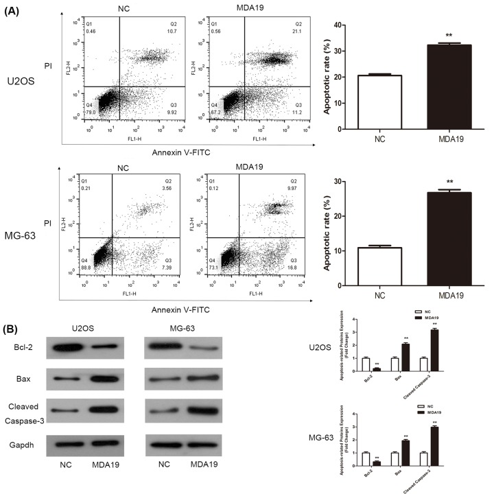The effect of apoptosis in OS cells administrated with MDA19 was tested by flow cytometry after Annexin V-FITC/PI staining and Western blot assay ( A ) The change of apoptotic rate in U2OS and MG-63 cells after incubation of MDA19. ( B ) Western blot analysis was performed to test a series of antibodies (Bcl-2, Bax, Cleaved Caspase-3, and Gapdh). All values are expressed as mean ± S.D. ** P