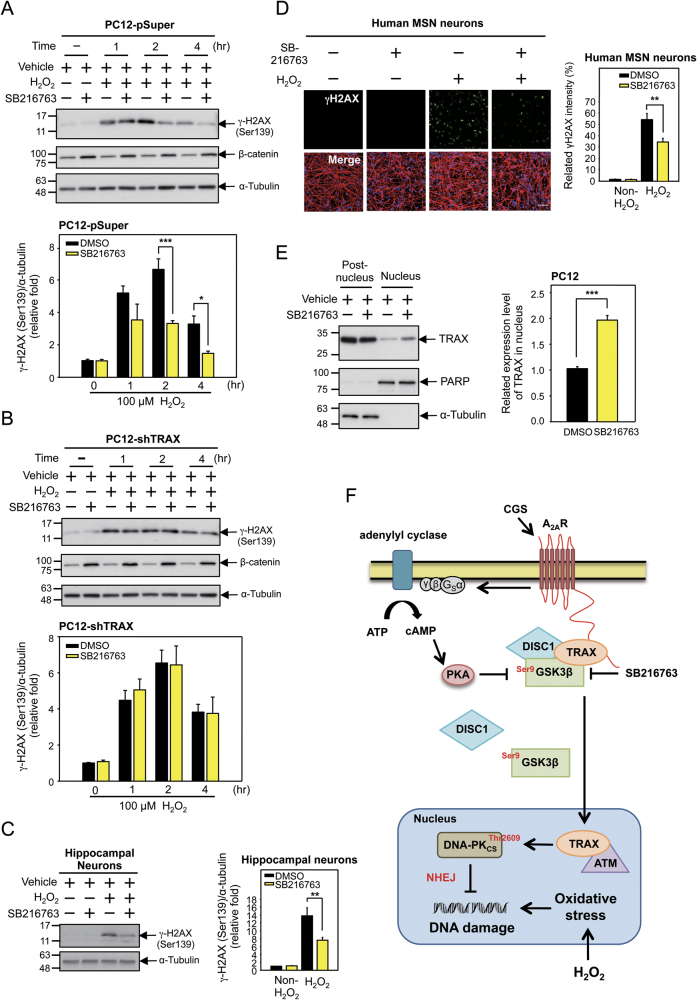 Inhibition of GSK3β enables TRAX-dependent DNA repair. a , b PC12-pSuper and PC12-shTRAX cells were treated with a GSK3β inhibitor (SB216763, 10 μM) or vehicle for 2 days. After the abovementioned treatment, cells were subjected to H 2 O 2 (100 μM) for 1–4 h as indicated. The levels of γH2AX, β-catenin, and α-Tubulin (a loading control) were evaluated by Western blot analysis using the indicated antibodies. The relative amounts of target proteins were quantified and normalized to that of α-Tubulin, the loading control. These experiments were repeated three times. c Primary hippocampal neurons (DIV14) harvested from wild-type B6/C57 mice were treated with SB216763 (10 μM) or vehicle for 1 day and then treated with H 2 O 2 (100 μM) for 2 h. Cells were lysed and subjected to SDS–PAGE, followed by Western blot analysis using the anti-γH2AX and anti-α-Tubulin antibodies, as indicated. The amount of target protein was quantified and normalized to that of α-Tubulin, the loading control. These experiments were repeated three times. d Human iPSCs-derived MSN neurons were treated with SB216763 (10 μM) or vehicle for 1 day and then treated with H 2 O 2 (100 μM) for 4 h. DNA damage was assessed by determining the intensity of the DNA damage marker γH2AX by immunofluorescence staining using the anti-γH2AX antibody (green) in neurons identified by a neuronal marker (TUJ1, red). Scale bar, 50 μm. e PC12 cells were treated with a GSK3β inhibitor (SB216763, 10 μM) or vehicle for 2 days and nuclear and cytosolic fractions were isolated. Cells were lysed and subjected to SDS–PAGE, followed by Western blot analysis using the anti-TRAX, anti-α-Tubulin and anti-PARP antibodies as indicated. The amount of target protein was quantified and normalized to that of α-Tubulin or PARP, the loading controls for post-nucleus and nucleus fractions, respectively. These experiments were repeated three times. The data are presented as the mean ± SEM from at least three independent experiments0. * P