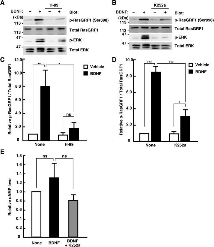 Involvement of PKA and Trk receptor in BDNF-induced Ser916/898 phosphorylation of RasGRF1. (A, B) Cortical neurons at 3 DIV were pretreated with 10 μM H-89 (A) or 100 nM K252a (B) for 45 min, and then treated with 50 ng/mL of BDNF for 30 min. Phosphorylated RasGRF1 (Ser916/898) was analyzed by immunoblotting with the anti-pSer916/898 antibody. (C, D) Densitometry analysis was performed, and p-RasGRF1/total RasGRF1 ratio was determined. Relative levels of p-RasGRF1/total RasGRF1 compared to vehicle-treated cells are shown. Data are presented as the means ± SEM of four independent preparations, *p