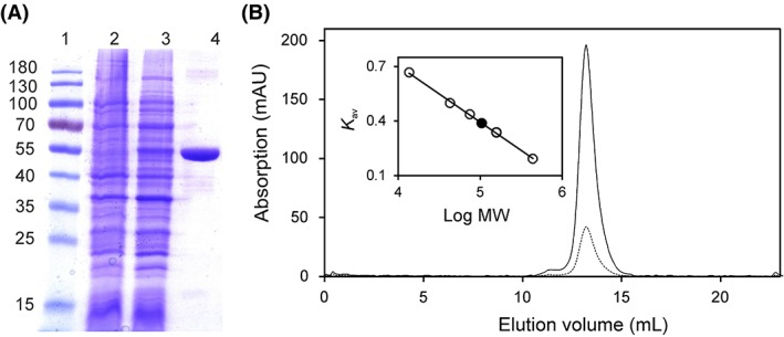 Determination of the purity and molecular mass of Irc15p using SDS‐PAGE and analytical size exclusion chromatography. (A) Determination of purity and subunit molecular mass of Irc15p by SDS‐PAGE after purification by affinity chromatography. Lane 1, PageRuler™ prestained protein ladder (10–180 kDa); Lane 2, protein extract before induction; Lane 3, protein extract after induction of IRC15 ; Lane 4, protein fraction after purification by Ni‐NTA‐sepharose. The subunit molecular mass of Irc15p was estimated to ~55 kDa. (B) Determination of native molecular mass of Irc15p (solid and dotted line display the absorption at 280 nm and 450 nm, respectively) using analytical size exclusion chromatography. The insert shows a plot of the partition coefficient ( K av ) against the logarithm of molecular mass of standard proteins (ferritin, 440 kDa; aldolase, 158 kDa; conalbumin, 75 kDa; ovalbumin, 43 kDa; ribonuclease A, 13.7 kDa). The calculated molecular mass of Irc15p (~ 113 kDa, black circle) indicates that Irc15p is present as a dimer.