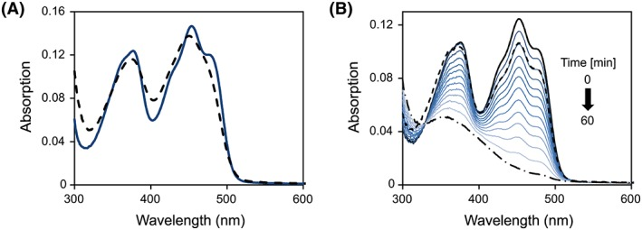 UV/Vis absorption spectroscopy. (A) UV–visible absorption spectrum of Irc15p before (solid line) and after denaturation (dashed line). Denaturation of purified Irc15p was carried out in Buffer B (50 mM HEPES, 50 mM NaCl, 1 mM DTT, pH 7.0) containing 0.2% SDS. (B) Absorption spectra observed during the anaerobic photoreduction of Irc15p in 50 mM HEPES, 50 mM NaCl, 1 mM DTT, 1 mM EDTA, pH 7.0. The solid black line represents the spectrum before irradiation. The reduction proceeds as indicated by the arrow with the dashed dotted line representing the final spectrum. After reoxidation by dioxygen the protein was partially denatured. The solution was cleared by centrifugation and the spectrum recorded (dashed line).