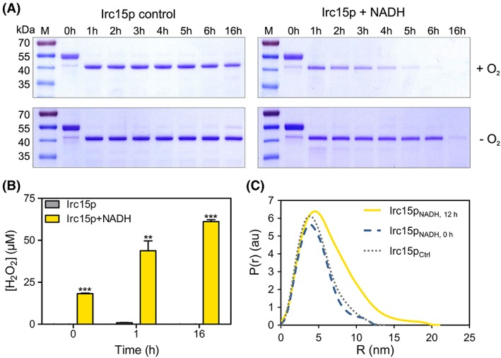 Limited proteolysis, hydrogen peroxide formation and SAXS data for Irc15p in the presence and absence of NADH. (A) SDS‐PAGE from the limited proteolysis experiment illustrating the effect of NADH and oxygen on the stability of the protein. Each gel has the marker PageRuler™ prestained protein ladder in Lane 1, the remaining lanes display the samples incubated for 0–16 h. (B) Hydrogen peroxide formation in Irc15p over time (0, 1, and 16 h) and in the presence and absence of NADH. (C) SAXS data comparing the experimental radial density distribution (P(r)) of Irc15p incubated with NADH measured after 0 and 12 h compared with a control sample without NADH.