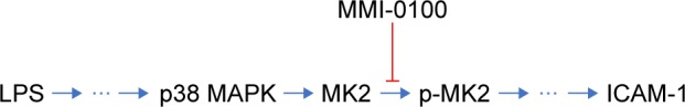 A simplified model of the molecular pathway. Notes: Upon stimulation by LPS, the p38 MAPK pathway is activated, and this is followed by the activation of MK2. MMI-0100 is able to inhibit the activation of p-MK2 and reduce the expression of ICAM-1. Abbreviations: LPS, lipopolysaccharides; p-MK2, phosphorylated MK2.