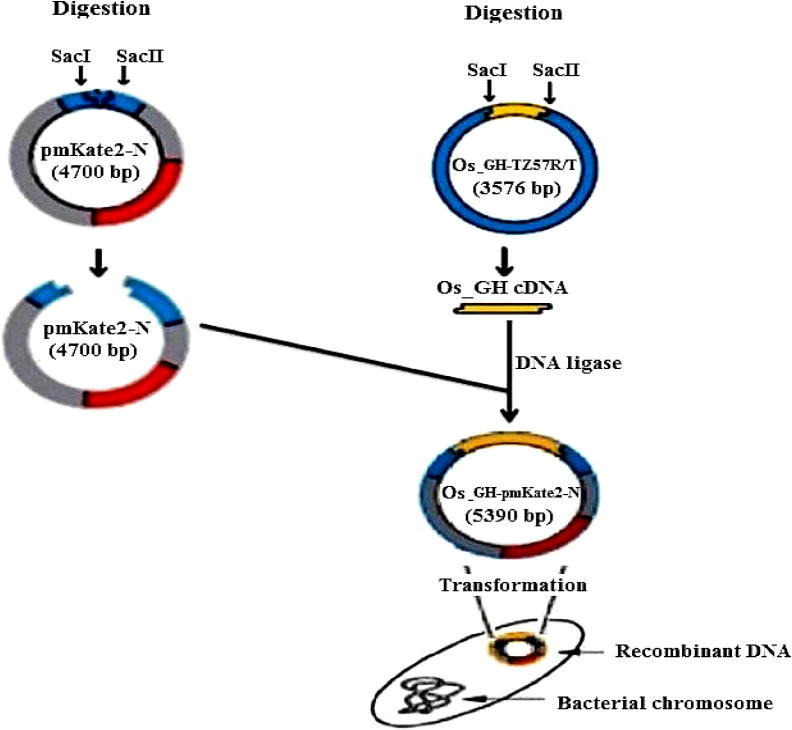 The construction method of Os_GH-pmKate2-N mammalian expression vector. The Os_GH-pTZ57R/T cloning vector and pmKate2-N expression vector were digested with SacI and SacII restriction enzymes to make sticky ends in both Os_GH cDNA fragment and pmKate2-N vector. The digested Os_GH cDNA fragment was ligated into the digested pmKate2-N vector. Finally, the constructed Os_GH-pmKate2-N vector was transformed into DH10B cells for amplification (adapted by authors).