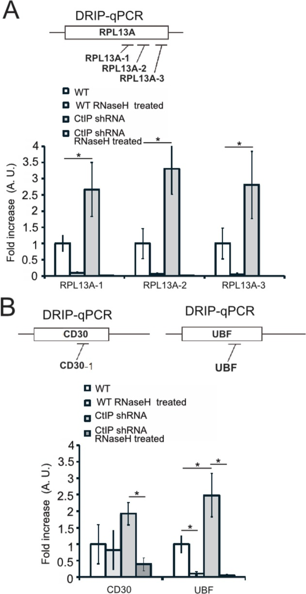 DRIP-qPCR signal is eliminated by <t>RNaseH</t> treatment in vitro. ( A ) Diagram of qPCR primer locations in the RPL13A gene. DRIP-qPCR was performed in wild-type and CtIP-depleted cells as in Figure 6 . Half of the sample was treated with RNaseH in vitro before the addition of the <t>S9.6</t> antibody, '+RNaseH' as indicated. n = 3, error bars represent standard deviation. * denotes p