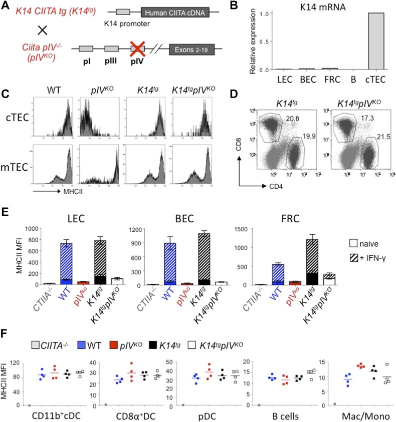 Selective abrogation of endogenous MHCII expression in LNSCs. (A) Schematic representation of K14tgpIV KO mice. Briefly, pIV KO were crossed with transgenic mice expressing the full CIITA cDNA under the control of the keratin 14 (K14) promoter ( K14tg ). (B) Relative mRNA expression of K14 by LECs, BECs, FRCs, B cells and cTEC from K14tgpIV KO mice, measured by qPCR and normalized to GAPDH. Data are representative of two experiments with 10 mice pooled/group (C) Flow cytometry histograms showing the expression of MHCII molecules by cTECs (gated on CD45 neg EpCAM + Ly5.1 hi cells) and mTECs (gated on CD45 neg EpCAM + Ly5.1 int cells) from indicated mice. (D) Flow cytometry dot plots showing CD8 + and CD4 + T-cell frequencies in LN of indicated mice (gated on CD3 + cells). (C, D) Data are representative of two experiments with three mice/group. (E) Histograms showing MHCII expression (MFI) by LECs, BECs, and FRCs from LN of indicated mice, either naive (filled) or injected s.c. with <t>IFN-γ</t> 24 h before (hatched). (F) Graphs showing MHCII expression (MFI) by CD11b + cDCs (CD11c hi CD11b + ), CD8α + DCs (CD11c hi CD8α + ), pDCs (CD11c int PDCA-1 + ), B cells (CD19 + ), and monocytes/macrophages (CD11c neg CD11b + ) isolated from LNs of indicated mice. (E, F) Data are representative of two experiments with 3-4 mice/group.