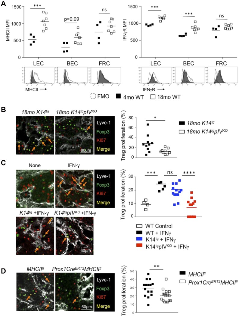 Deletion of MHCII on LECs decreases Treg proliferation. (A) MHCII and IFN-γ receptor (IFNγR) expression (MFI) by LECs, BECs, and FRCs from LN of WT mice of the indicated age. Data are representative of two experiments with three mice/group each. (B–D) LN sections depicting LECs (Lyve-1, white) and proliferating Tregs (red arrows) (Ki67, red; and Foxp3, green) from 18-mo-old K14 tg and K14 tg pIV KO mice (B), 3-mo-old WT and K14 tg and K14 tg pIV KO (C), and 3-mo-old Tamoxifen-treated Prox-1-Cre ERT2 MHCII fl and MHCII fl control mice (D). In (C) and (D), animals were treated with FTY720 every day for the last 6 d, and with IFN-γ 6 d before harvesting the LNs. Graphs represent the percentages of Ki67 + among Foxp3 + cells in contact with LECs from LN of the indicated mice. (B–D) Data are pooled from at least nine tissue sections from three individual mice/group. * P