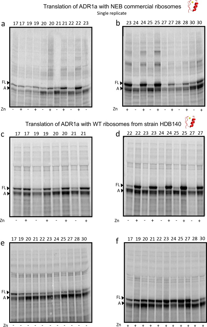 SDS PAGE showing ADR1 constructs translated in PURExpress Δ-Ribosome kit supplemented with high-salt-washed ribosomes isolated from HDB140, HDB143 (uL23 Δloop), or HDB144 (uL24 Δloop) as indicated. Translations were run on 12% <t>Bis-Tris</t> gels with <t>MOPS</t> running buffer.