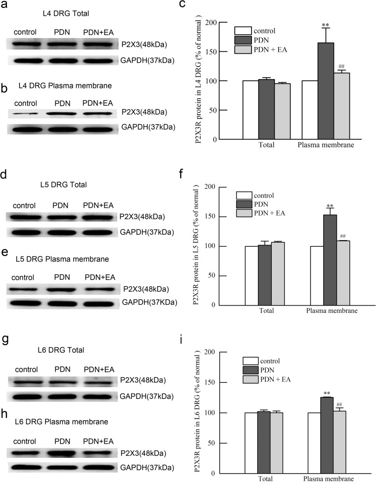 Effects of 2-Hz EA on total and plasma membrane protein levels of P2X3 receptor in L4, L5, and L6 DRGs of PDN rats after EA treatment for 7 days. a , b Representative Western blot protein and c relative amounts of total and plasma membrane P2X3 receptor in L4 DRGs. d , e Representative Western blot protein and f relative amounts of total and plasma membrane P2X3 receptor in L5 DRGs. g , h Representative Western blot protein and i relative amounts of total and plasma membrane P2X3 receptor in L6 DRGs. Results were expressed as relative fold changes as compared to the control group after normalization to GAPDH. Data were presented as mean ± SD of three independent experiments, n = 5 per group. ∗∗ P