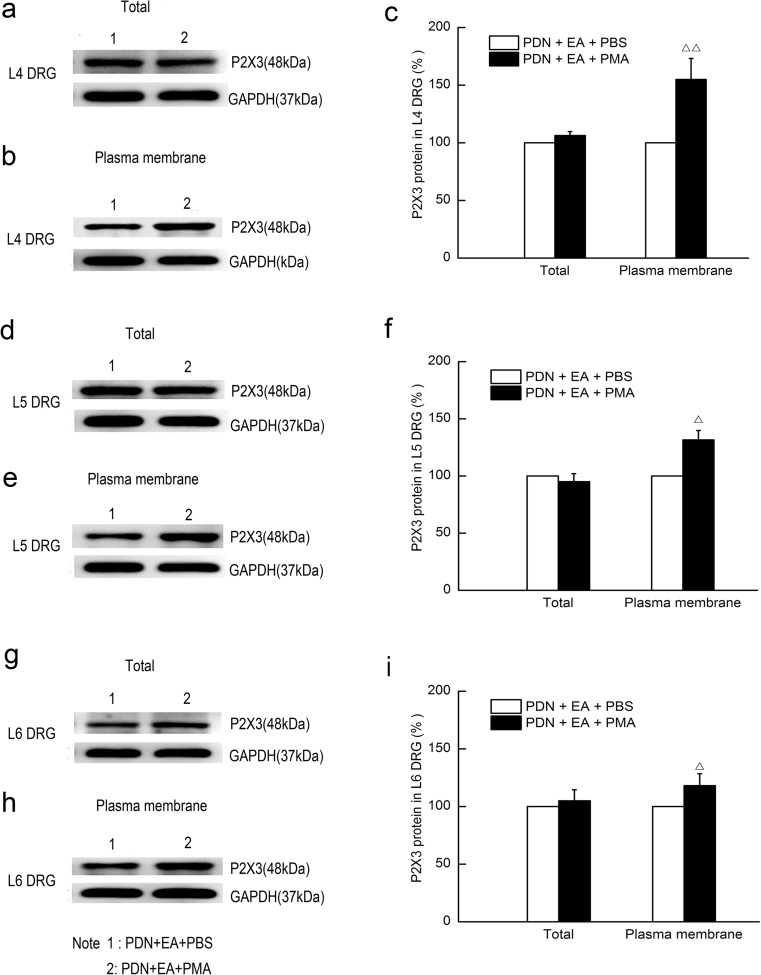 Effects of intraperitoneal injection of PMA on total and plasma membrane protein levels of P2X3 receptor in L4, L5, and L6 DRGs of PDN rats subject to 2-Hz EA after EA treatment for 7 days. PMA was intraperitoneally injected (0.2 ng/μl, 100 μl) into the ventral surface of hind paw 10 min prior to EA treatment. Rats in the PDN + EA + PBS group received the same dose of PBS buffer as a control. a , b Representative Western blot protein and c relative amounts of total and plasma membrane P2X3 receptor in L4 DRGs. d , e Representative Western blot protein and f relative amounts of total and plasma membrane P2X3 receptor in L5 DRGs. g , h Representative Western blot protein and i relative amounts of total and plasma membrane P2X3 receptor in L6 DRGs. Results were expressed as relative fold changes as compared to the PDN + EA + PBS group after normalization to GAPDH. Data were presented as mean ± SD of three independent experiments, n = 5 per group. △ P