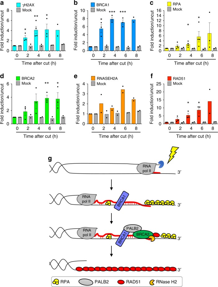RNase H2 recruitment to DSBs occurs al later time-points after DSB induction. Bar graphs showing fold induction of a γH2AX, b BRCA1, c RPA, d BRCA2, e RNase H2, and f RAD51 signals at the nongenic AsiSI site analyzed in Fig. 1d . Lines represent mean ± s.e.m. ( n ≥ 2 biological replicates). * P