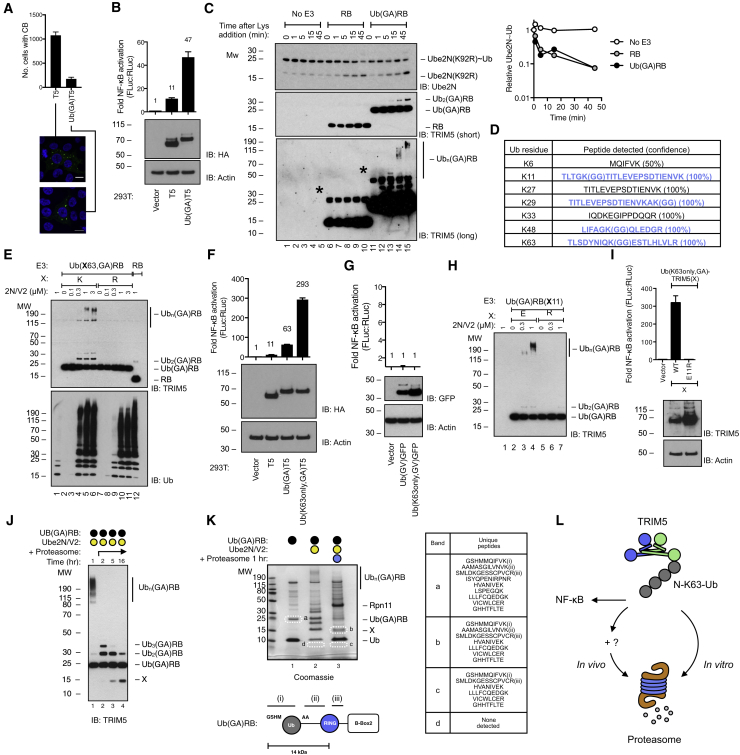 N-Terminal Ub Promotes TRIM5 Immune Signaling, Chain Anchoring, and Proteasomal Degradation (A) Representative confocal fluorescence images of 293T transfected with TRIM5-HA or Ub(GA)TRIM5-HA, NF-κB-Luc, and RLuc, detecting HA tag or DNA, and frequency of CB-containing cells quantified. (B) Top: NF-κB-Luc activation in cells from (A). Bottom: immunoblot detecting HA tag and β-actin. (C) 2N/V2∼Ub discharge experiments with Ube2N(K92R). Left: reactions assessed by immunoblot detecting 2N (top) or TRIM5 (bottom two panels). Asterisk indicates contaminant protein. Right: densitometry of immunoblot shown. (D) LC-MS/MS analysis of 293T-expressed Ub(GA)TRIM5-His identifies four sites of Ub conjugation in N-monoUb, as inferred by modification of Lys with diGly (GG). Ubiquitinated peptides shown in blue. Peptide confidence in parentheses. (E) Immunoblot of in vitro reactions between TRIM5 RB, Ub(GA)RB, or Ub(K63R,GA)RB and 2N/V2, detecting TRIM5 (top) or Ub (bottom). (F and G) Top: NF-κB-FLuc activation in 293T by TRIM5 (F) or GFP (G) constructs indicated. Bottom: immunoblot detecting HA tag and β-actin. (H) Immunoblot of in vitro reactions between TRIM5 Ub(GA)RB or Ub(GA)RB(E11R) and 2N/V2, detecting TRIM5. (I) Top: NF-κB-Luc activation in 293T by constructs indicated. Bottom: immunoblot detecting the HA tag and β-actin. (J) Immunoblot of in vitro reactions between TRIM5 Ub(GA)RB, first conjugated with N-K63-Ub by 2N/V2, and proteasomes, incubated for 1–15 hr, detecting TRIM5. (K) Left: Coomassie-stained gel of reactions between Ub(GA)RB with and without prior Ub conjugation by 2N/V2, and proteasomes. Bands excised for LC-MS/MS analysis labeled a–d. X indicates the degradation product. Right: unique Ub(GA)RB peptides detected. Bottom: regions (i–iii) of Ub(GA)RB from which specific peptides were detected. Representative of three experiments. (L) Model, TRIM5 stimulates NF-κB and proteasome degradation via an N-K63-Ub tag. All data are representative of at least two replicat