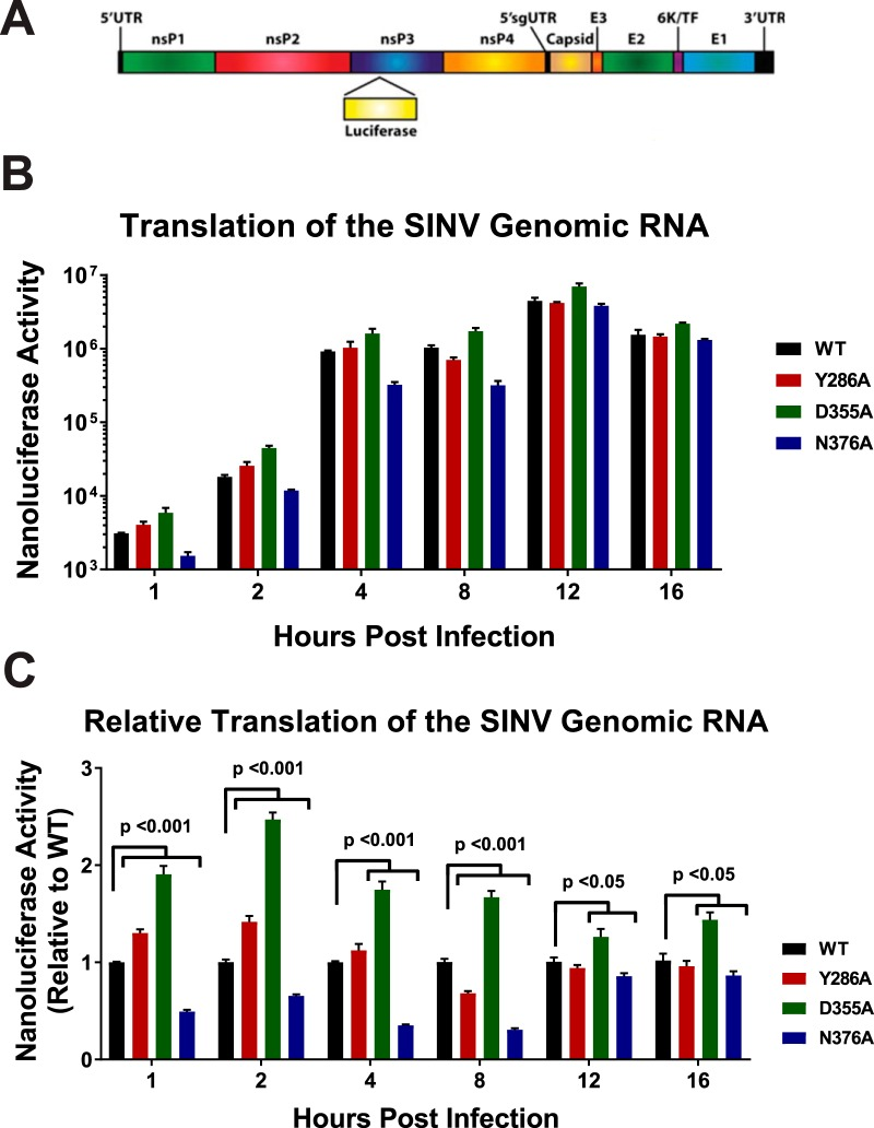 Translation of the genomic vRNA correlates with viral capping efficiency. (A) Schematic diagram of the SINV nanoluciferase reporter used in this study. UTR, untranslated region. (B) <t>BHK-21</t> cells were infected with either the parental wild-type strain or an individual SINV capping mutant nanoluciferase reporter strain. The level of nanoluciferase activity was quantified at the indicated times post-infection. (C) The nanoluciferase activity, as reported in panel B, normalized to wild-type expression at each individual time point to enable readers to identify differences in translation. All the quantitative data shown represent means of results from three independent biological replicates, with the error bars representing standard deviations of the means. Statistical significances, as indicated in the figure, were first determined using analysis of variance (ANOVA) followed by post hoc statistical analyses by Student's t test.