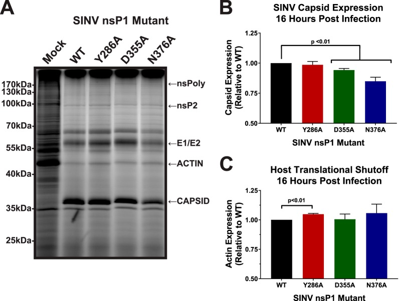 Subgenomic gene expression is unaffected by altering SINV vRNA capping. (A) BHK-21 cells were either mock treated or infected with wild-type SINV or an individual capping mutant at an MOI of 10 PFU/cell. At 14 hpi, the cells were pulsed with L-AHA for a period of 2 h. The cells were then harvested, and equal cell volumes of cell lysate were analyzed by SDS-PAGE and fluorescent imaging. The data shown are representative of results from three independent biological replicates. (B) Densitometric quantification of the SINV capsid protein, with intensity relative to wild-type SINV shown. (C) Densitometric quantification of the host actin protein, with intensity relative to wild-type SINV shown. All the quantitative data shown represent means of results from three independent biological replicates, with the error bars representing standard deviations of the means. Statistical significance was determined by Student's t test.