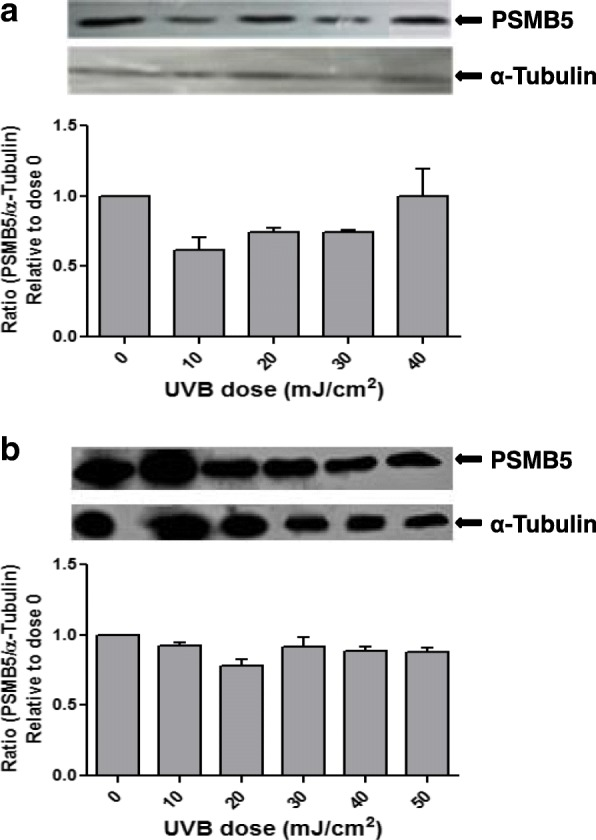 Representative western blottings of lysates of pterygium ( a ) and normal conjunctival ( b ) fibroblasts, irradiated with different doses of UVB radiation (0–50 mJ/cm 2 ) after pretreatment with PP2, using antibodies against PSMB5 or α-tubulin