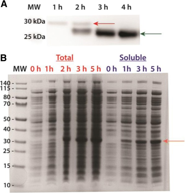 Soluble expression of recombinant AaET-NL and AaSPVII-NL zymogen proteases grown in TB media at 23 °C post-induction (induced with 0.1 mM IPTG). Plasmid constructs were transformed into SHuffle® T7 Express Competent E. coli cells (NEB). The MW ladder is in kilo-Daltons (kDa). a Western blot analysis utilizing an AaET-specific antibody of soluble samples collected from the growth and expression of AaET (a total of 4 h post-induction). The zymogen (inactive form of the protease) is observed in the first 2 h (MW ~ 27.0 kDa, red arrow), but a second species hypothesized to be the active mature form begins to appear at the two-hour time-point (MW ~ 22.4 kDa, green arrow) while the zymogen completely disappears by the third hour post-induction. b Large scale expression analysis of AaSPVII-zymogen grown for a total of 5 h post-induction. A single band at ~ 28.7 kDa (orange arrow) is observed to be increasing over time after induction with no observable band present in both the total and soluble pre-induction samples ( t = 0 h)