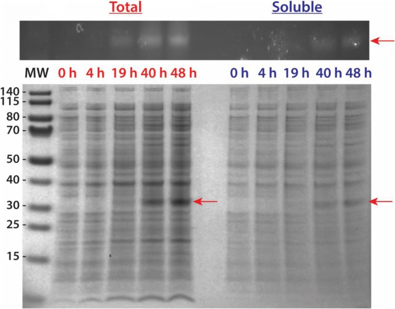 Large-scale soluble expression of recombinant AaLT-NL zymogen protease grown in TB media at 10 °C (induced with 0.1 mM IPTG). Plasmid construct was transformed into SHuffle® T7 Express Competent E. coli cells (NEB). Samples were collected at the given time points (in hours). The MW ladder is in kilo-Daltons (kDa). Gel analysis of samples collected from the growth of AaLT was first visualized using InVision™ His-Tag In-Gel Stain (Invitrogen), which specifically chelates to and enhances the fluorescence of poly his-tagged proteins (top figure). The His-Tag stain is the positive identification that the bands expressed in the gel below are indeed the expression of soluble AaLT-zymogen (MW ~ 27.6 kDa, red arrows). The growth was extended beyond 24 h due to the 10 °C growth conditions, which helped in solubly expressing the protease, but also to increase bacterial cell density in order to obtain a large quantity of cell paste for purification