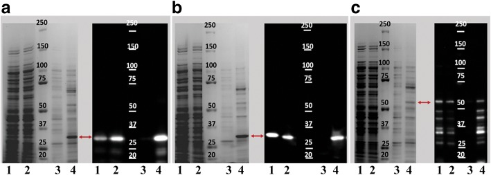 Analysis of the recombinant proteins VirB9-1, VirB9-2 and VirB10. SDS-PAGE and Western Blot analysis of recombinant VirB9-1 ( a ), VirB9-2 ( b ), and VirB10 ( c ). Lanes represent the different fractions analyzed during the purification procedure, 1 = Total crude protein, 2 = Filtered supernatant fraction obtained after high-speed centrifugation, 3 = Washed fraction, 4 = Eluted protein. Western Blot analysis was performed using the monoclonal anti-histidine tag antibody reacting with the recombinant protein (red arrows). Predicted molecular weights plus tags for VirB9-1 (33.5KDa), VirB9-2 (31.6KDa) and VirB10 (52KDa)