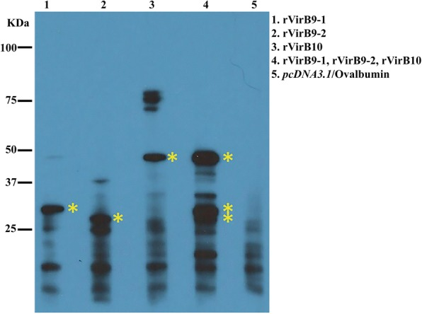 Sera from C3H/HeN immunized mice reacted against A. phagocytophilum VirB9-1, VirB9-2, and VirB10 proteins. Proteins from equal amounts (10 8 ) of host cell-free A. phagocytophilum were separated by SDS-PAGE gel electrophoresis. Immunoblots of transferred proteins were reacted with pooled sera from the 3 immunized but not challenged mice (1:1000) and reactions were visualized by chemiluminescence. The sizes of protein standards are indicated on the left in kDa. Predicted molecular weights for A. phagoytophilum VirB9-1 (30.5KDa), VirB9-2 (28.6KDa), and VirB10 (49.2KDa). Bands of similar sizes were not visualized in sera from the pcDNA3.1 /Ovalbumin control group