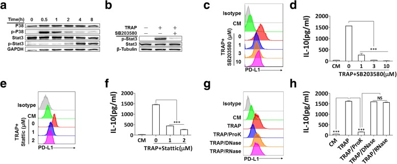 p38-STAT3 signaling in BMDMs and protein fraction in TRAPs are essential for induction of PD-L1 and IL-10. a BMDMs were exposed to TRAPs (10 μg/ml) at indicated time points. Cell lysates were analyzed for p38, p-p38, STAT3 and p-STAT3 by western blot. GAPDH was used as a loading control. b BMDMs were pretreated with p38 inhibitor SB203580 (3 μM) for 1 h, and then co-incubated with TRAPs (10 μg/ml) for 4 h. Expression of STAT3 and p-STAT3 was detected by western blot. c BMDMs were exposed to SB203580 at described concentrations for 1 h, and followed by incubation with TRAPs (10 μg/ml) for 72 h. PD-L1 expression was determined by flow cytometry, and ( d ) the production of IL-10 was assessed by ELISA. e BMDMs were pretreated with STAT3 inhibitor Stattic (1 and 3 μM) for 1 h, and then stimulated with TRAPs (10 μg/ml) for 72 h. PD-L1 expression and ( f ) IL-10 secretion was determined by flow cytometry and ELISA, respectively. g TRAPs were pretreated with Proteinase K for 2 h at 55 °C, DNase I for 1 h at 37 °C or RNase for 3 h at 37 °C, respectively, followed by incubation with BMDMs for 72 h. PD-L1 was evaluated by flow cytometry, and ( h ) IL-10 was tested by ELISA. Data are shown as mean ± SEM, and are representative of three independent experiments. *** p