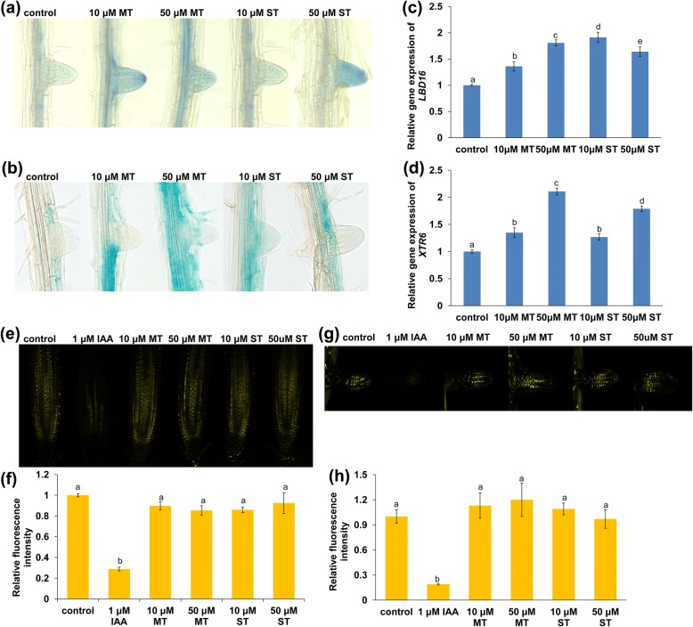 a-g LBD16 and XTR6 are involved in melatonin- or serotonin-mediated LR development. a , b Five-day-old proLBD16:GUS ( a ) and proXTR6:GUS ( b ) seedlings were transferred to 1/4 MS medium containing 10 or 50 μM melatonin or serotonin for 4 days. c , d qRT-PCR analysis of LBD16 ( c ) and XTR6 ( d ) gene expression in the roots of Col-0 seedlings treated with 10 or 50 μM melatonin or serotonin for 2 days. The expression levels of the indicated genes in untreated roots were set to 1. e-h Effects of melatonin and serotonin on auxin accumulation in roots. e YFP fluorescence in the PR tips of 5-day-old DII-VENUS seedlings exposed to 1 μM IAA or 10 or 50 μM melatonin or serotonin for 4 days and ( f ) quantification of DII-VENUS fluorescence intensity in plants treated as in ( e ). g YFP fluorescence in the LR tips of 5-day-old DII-VENUS seedlings exposed to 1 μM IAA or 10 or 50 μM melatonin or serotonin for 4 days and ( h ) quantification of the DII-VENUS fluorescence intensity in plants treated as in ( g ). The fluorescence intensity in untreated roots was set to 1. MT, melatonin; ST, serotonin. Error bars represent the SE. Different letters indicate significantly different values ( P