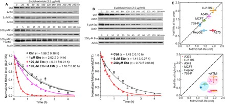 Dose-dependent Mdm2 expression was mainly regulated by ATM-mediated Mdm2 degradation. ( A ) Mdm2 degradation kinetics in U-2 OS cells under the indicated treatment condition plus cycloheximide (2.5 μg/ml) were measured by Western blot analysis of Mdm2 level at 12 selected time points (unit: minute). Actin, which served as a loading control, was shown beneath each Mdm2 sample. Mdm2 half-life τ under different treatment conditions was derived from the exponential fit of the Mdm2 degradation kinetics averaged from three independent sets of Western blots. ( B ) Mdm2 degradation kinetics of MCF7 cells and the respective exponential fits under the indicated treatment conditions. ( C ) Mdm2 half-life of the six cell lines at low (top) or high (bottom) drug dose in comparison with that under the control condition. The bottom panel also showed Mdm2 half-life of the three sensitive lines under the combined treatment of 100 μM etoposide and 20 μM KU55933, an ATM inhibitor (ATMi). ctrl, control.