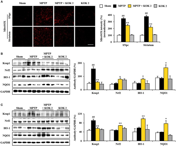 KOK up-regulates Keap1-Nrf2 signaling in the SNpc and striatum following MPTP intoxication. (A) At 7 days after the last MPTP intoxication, SNpc and striatal sections ( n = 5 per group) were subjected to MitoSOX staining. The staining intensity was then quantified. Insets display high magnification micrographs of areas marked with squares. (B,C) Seven days after the last MPTP intoxication, SNpc, and striatum sample ( n = 3 per group) were performed by Western blot assay. Keap1, Nrf2, HO-1, and <t>NQO1.</t> SNpc (B) and striatum (C) . The top panels illustrate representative Western blots. ANOVA test; ## p