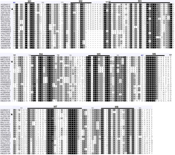 Alignment of amino acid sequences of the putative RdRP of A . <t>thermomutatus</t> <t>chrysovirus</t> 1 (AthCV1) with those of closely related chrysoviruses. The eight conserved RdRP motifs characteristic of dsRNA mycoviruses are referred to as M1-M8. Shading: black, 100% amino acid similarity; dark gray, 80–99% amino acid similarity; gray, 60–79% amino acid similarity; white, less than 60% amino acid similarity. Virus sequences are as follows: AGZ84312: RdRP aa sequence of Botryosphaeria dothidea chrysovirus 1 [ 48 ], BBC27878: RdRP aa sequence of Alternaria alternata chrysovirus 1 [ 49 ], AWC67507: RdRP aa sequence of AthCV1, ALO50149: RdRP aa sequence of Penicillium janczewskii chrysovirus 2 [ 50 ], AXP19674: RdRP aa sequence of Colletotrichum fructicola chrysovirus 1 [ 51 ], CBY84993: RdRP aa sequence of Tolypocladium cylindrosporum virus 2 [ 58 ], BAJ15133: RdRP aa sequence of Magnaporthe oryzae chrysovirus 1-A [ 59 ], BAO20927: RdRP aa sequence of Magnaporthe oryzae chrysovirus 1-B [ 60 ], ABX79996: RdRP aa sequence of Aspergillus mycovirus 1816 [ 61 ], ALO50142: RdRP aa sequence of Penicillium janczewskii chrysovirus 1 [ 50 ], AKP45145: RdRP aa sequence of Fusarium oxysporum f . sp . dianthi virus [ 62 ], ADU54123: RdRP aa sequence of Fusarium graminearum mycovirus-China 9 [ 63 ], ADW08802: RdRP aa sequence of Fusarium graminearum dsRNA mycovirus -2 [ 64 ], AAM68953: RdRP aa sequence of Helminthosporium victoriae 145S virus [ 65 ], CAG77602: RdRP aa sequence of Amasya cherry disease associated chrysovirus [ 66 ], ACT79255: RdRP aa sequence of Cryphonectria nitschkei chrysovirus 1[ 67 ], ADG21213: RdRP aa sequence of Verticillium dahliae chrysovirus 1 [ 68 ], ALD89090: RdRP aa sequence of Macrophomina phaseolina chrysovirus 1 [ 69 ], APR73428: RdRP aa sequence of Isaria javanica chrysovirus 1 [ 70 ], AAM95601: RdRP aa sequence of Penicillium chrysogenum virus [ 71 ], CAX48749: RdRP aa sequence of A . fumigatus chrysovirus [ 19 ], ABQ53134: RdRP aa sequence of 