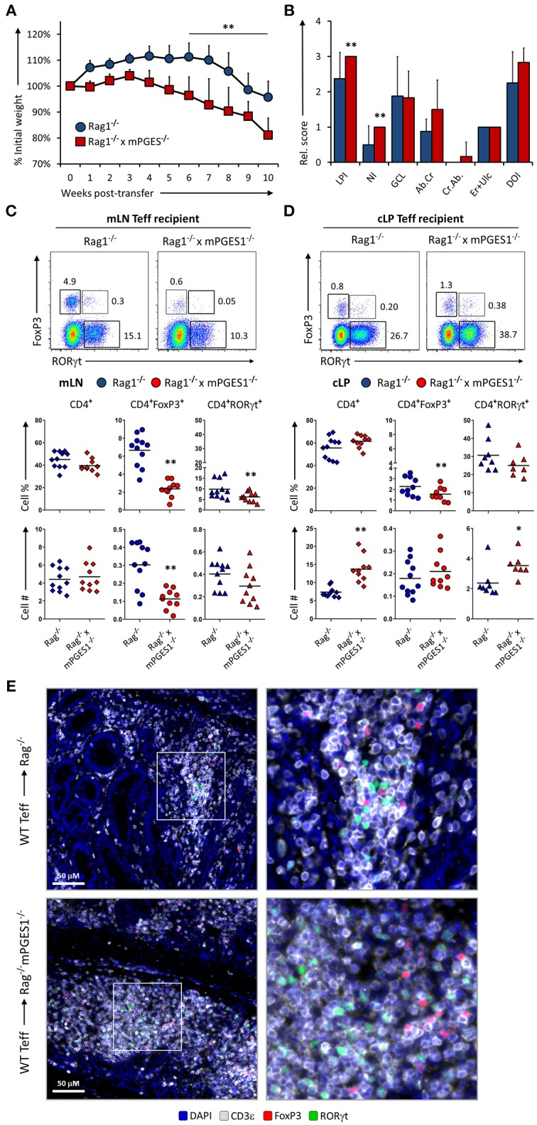 Paracrine mPGES-1-deficiency in non-lymphoid cells facilitates colitis by inhibiting generation of CD4 + FoxP3 + cells . (A) Weight loss in Rag1 −/− or Rag1 −/− x mPGES-1 −/− mice that received a transfer of WT Teff donor cells. (B) Segregated colon pathology scores from both cohorts. Flow cytometry analysis of (C) mLN and (D) cLP CD4 + populations at the end of the experiment (10 weeks), indicating intracellular expression of RORγt and FoxP3 in summarized results from 3 experiments. (E) Fluorescence microscopy analysis of colon sections denoting CD4 + cell infiltrates. Blue = DAPI, Gray = CD3ε, Green = RORγt, and Red = FoxP3. ** P