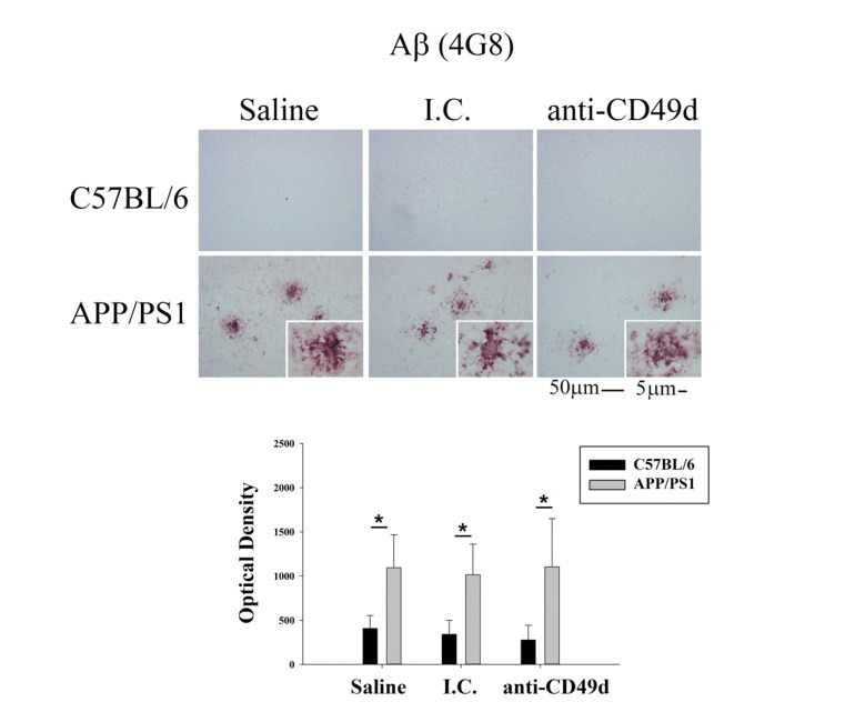 Anti-CD49d antibody injections did not affect plaque load in <t>APP/PS1</t> mice. C57BL/6 and APP/PS1 mice were injected intravenously (tail-vein) with Saline, <t>IgG</t> isotype control (purified NA/LE Rat IgG2b) (I.C.) or 2 mg/kg purified NA/LE rat anti-mouse CD49d (anti-CD49d) once a week for 4 weeks. Right brain hemispheres from all the mice were fixed, serially sectioned, and immunostained using anti-Aβ (4G8) antibody. Representative images from 3-6 animals per group are shown at 20X magnification with 63X magnification insets. Quantitation of immunostaining was performed and O.D. values were averaged and plotted ± SD.