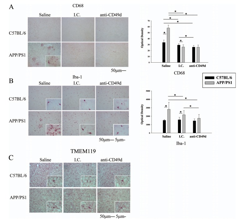Both the isotype control (I.C.) and anti-CD49d antibody injections reduced microgliosis in APP/PS1 mice. C57BL/6 and APP/PS1 mice were injected intravenously (tail-vein) with Saline, IgG isotype control (purified NA/LE Rat IgG2b) (I.C.) or 2 mg/kg purified NA/LE rat anti-mouse CD49d (anti-CD49d) once a week for 4 weeks. Right brain hemispheres from all the mice were fixed and serially sectioned. Microgliosis was assessed by immunostaining using anti-CD68 (3A) and anti-Iba-1 (3B) antibodies and total number of resting microglia were assessed using anti-TMEM119 antibody (3C) . Representative images from 3-6 animals per group are shown at 20X magnification with 63X magnification insets. Quantitation of immunostaining was performed and O.D. values were averaged and plotted ± SD.