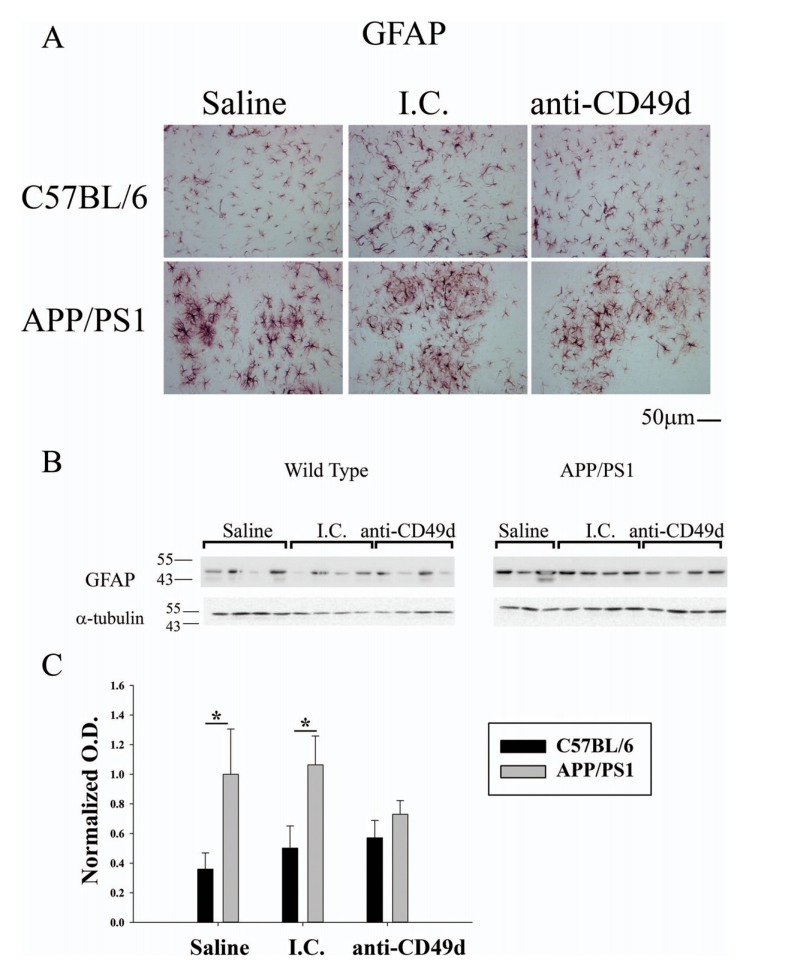 Anti-CD49d injections reduced astrogliosis in APP/PS1 mice. C57BL/6 and APP/PS1 mice were injected intravenously (tail-vein) with Saline, IgG isotype control (purified NA/LE Rat IgG2b) (I.C.) or 2 mg/kg purified NA/LE rat anti-mouse CD49d (anti-CD49d) once a week for 4 weeks. Right brain hemispheres from all the mice were fixed and serially sectioned. Astrogliosis was assessed by immunostaining using anti-GFAP antibody (4A) . Representative images from 3-6 animals per group are shown at 20X magnification. Parietal cortex from left brain hemispheres was dissected out, lysed and western blotted using anti-GFAP antibody (4B) with anti-α-tubulin as loading control. Optical densities for each antibody were normalized, averaged and graphed ± SD from 3-6 animal per group (*p