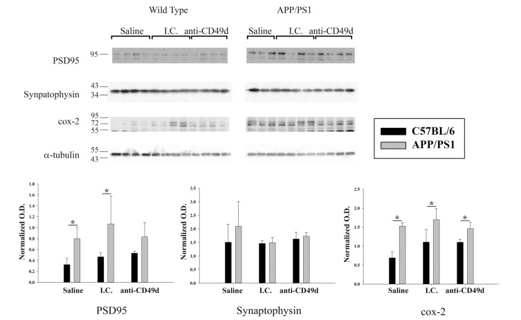 Anti-CD49d antibody injections altered post-synaptic proteins APP/PS1 mice. C57BL/6 and APP/PS1 mice were injected intravenous (tail-vein) with Saline, IgG isotype control (purified NA/LE Rat IgG2b) (I.C.) or 2 mg/kg purified NA/LE rat anti-mouse CD49d (anti-CD49d) once a week for 4 weeks. Parietal cortex from left brain hemispheres was dissected out, lysed and western blotted using anti-PSD95, anti-synaptophysin and anti-Cox-2 antibodies with anti-α-tubulin as loading control. Optical densities for each antibody were normalized, averaged and graphed ± SD from 3-6 animal per group (*p