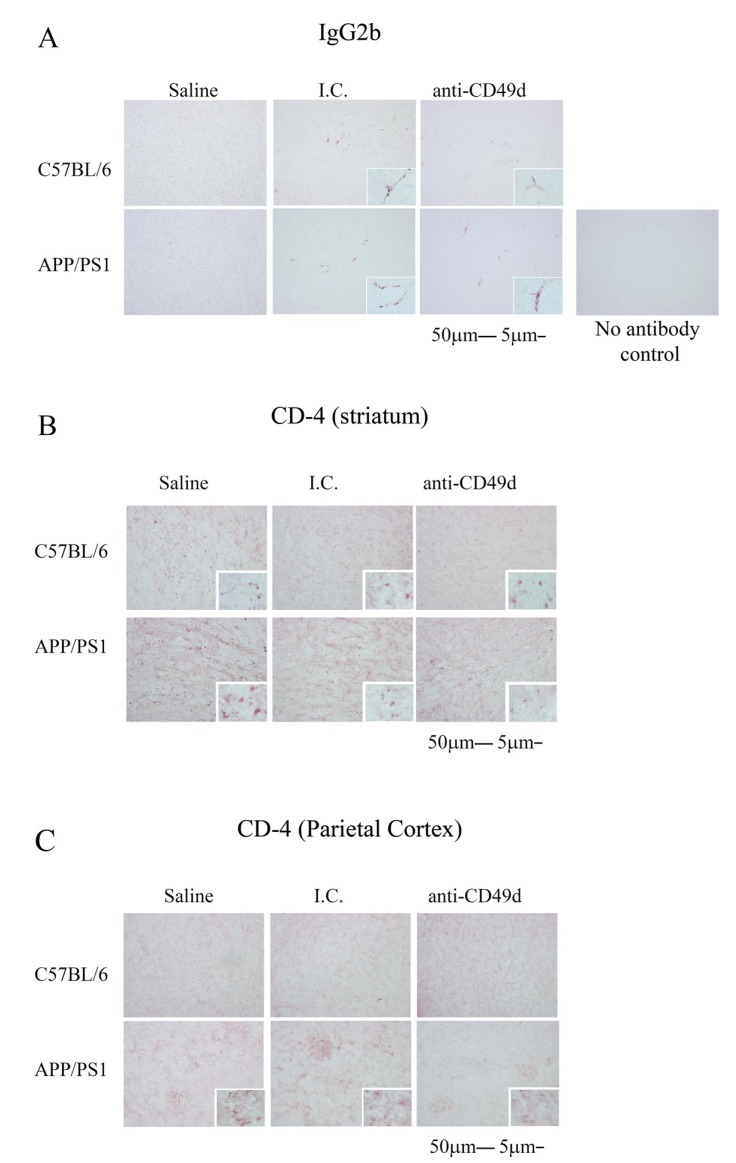 Both the isotype control and anti-CD49d antibody injections affected brain CD4 immunoreactivity. C57BL/6 and APP/PS1 mice were injected intravenously (tail-vein) with Saline, IgG isotype control (purified NA/LE Rat IgG2b) (I.C.) or 2 mg/kg purified NA/LE rat anti-mouse CD49d (anti-CD49d) once a week for 4 weeks. Right brain hemispheres from all the mice were fixed and serially sectioned. The presence of IgG2b antibody in the brain was assessed by immunostaining using biotinylated anti-mouse IgG2b antibody (8A) . The presence of T cells in the brain was visualized using anti-CD4 antibody and immunoreactivity observed in the striatum (8B) and parietal cortex (8C) was imaged. Representative images from 3-6 animals per group are shown at 20X magnification with 63X magnification insets.