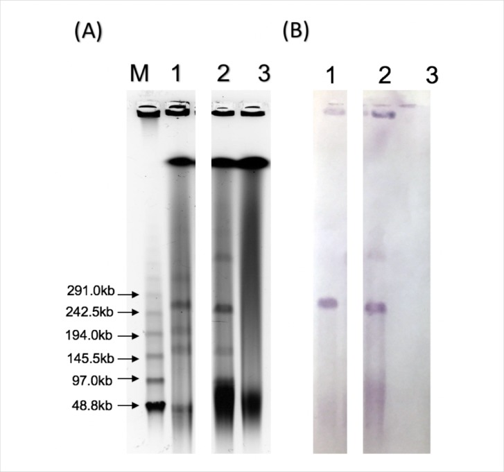 S1-nuclease pulsed-field gel electrophoresis (S1-PFGE) of the donor strain EC2189, trans-conjugant TcEC2189 and recipient C600. (A) PFGE of genomic DNA digested with S1-nuclease. (B) Southern blot hybridisation of the PFGE gel with a bla NDM-1 specific probe. Lane M: Lambda ladder; Lane 1: EC2189; Lane 2: TcEC2189; Lane 3: C600.