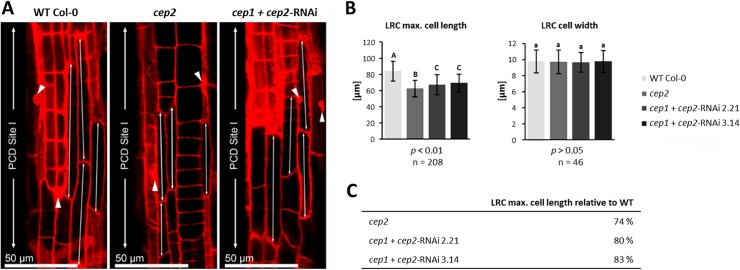 CEP2 loss of function results in shortening the longest cells of the lateral root cap (LRC) at the level of the PCD site I. The residual CEP2 activity in cep1 cep2 double ko/kd mutants ( cep1 + cep2- RNAi) results in prolonged LRC cells as compared to cep2 ko mutants, but shorter as compared to LRC cells in WT plants. (A) 7 days old seedlings of WT, cep2 ko and cep1 cep2 double ko/kd mutants ( cep1 + cep2- RNAi) were stained with propidium iodide and analyzed by CLSM (single pictures, 400-fold magnification). The 3–5 longer most cells of the LRC at the level of the PCD site I (double arrow) are compared. Nuclei stained with propidium iodide are marked (arrow heads) indicating cells approaching PCD since their cell membranes become permeable resulting in propidium iodide stained nuclei in addition to the stained cell wall. (B) Comparison of the length (left) and the width (right) of the 3–5 longer most LRC cells in 7 days old seedlings of WT plants with cep2 ko and cep1 cep2 double ko/kd mutants ( cep1 + cep2- RNAi; lines 2.21 and 3.14) mutants. Columns are marked with different letters indicating statistically different groups for LRC cell length ( p