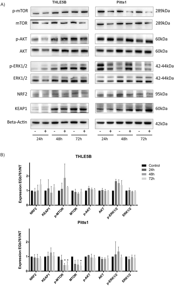 EGb761 modulates oxidative stress response and oncogenic pathways. (A) Western blots for AKT, mTOR, ERK1/2, Nrf2 and <t>KEAP1</t> in 24h, 48h and 72h treated (+) versus untreated (-) cells are shown in representative images of three independent experiments. (B) Relative expression to control (untreated cells) is demonstrated as means ± SD by quantitative analysis using densitometry normalized to the corresponding beta-actin expression; *p