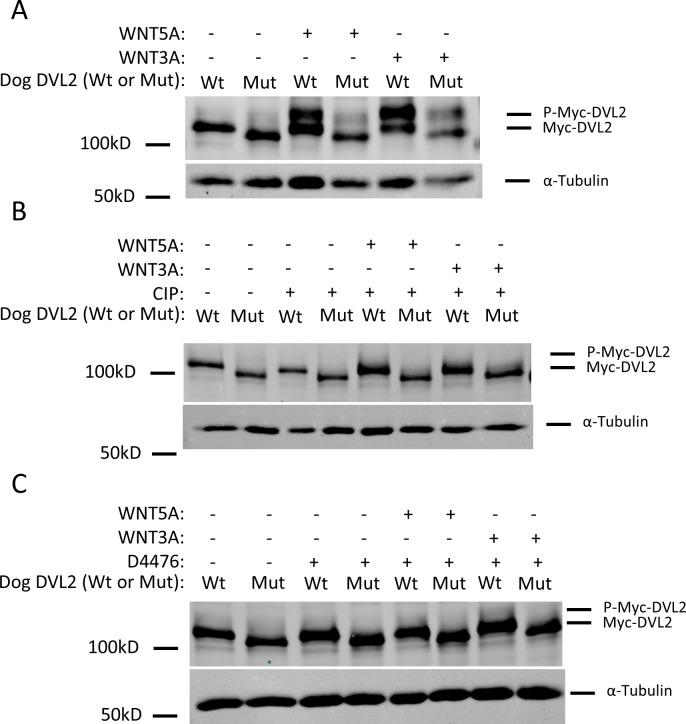 WNT-dependent phosphorylation of the <t>DVL2</t> mutant protein is reduced. (A) Lysates from NIH/3T3 stable cell lines expressing the dog, Myc-tagged wild-type (Wt) or mutant variant (Mut) DVL2, which is 23 aa shorter than wild-type exogenous DVL2, were analyzed by western blotting using an <t>anti-c-Myc</t> antibody. To assess the ability of the wild-type and mutant proteins to respond to WNT stimulation, cells were treated with WNT5A or WNT3A for 6 hours. Both treatments resulted in increased gel mobility shifts of the wild-type DVL2 protein, indicative of increased phosphorylation; this effect was reduced on the mutant DVL2 protein. (B) To confirm that the DVL2 gel mobility shifts observed in (A) were due to phosphorylation, cell lysates were subjected to mock treatment (30 min incubation at 37 C), or calf intestinal phosphatase (CIP) treatment (30 min incubation at 37 C in the presence of CIP) before separation by SDS-PAGE. The DVL2 gel mobility shifts above wild-type and mutant proteins were lost after CIP treatment, confirming that they are caused by phosphorylation. (C) To test whether the DVL2 gel mobility shifts observed in (A) were driven by casein kinase 1 (CK1), cells were treated with D4476, a CK1 inhibitor, for 1 hour prior to and concurrently during the Wnt stimulation for 6 hours. The DVL2 gel mobility shifts were lost after D4476 treatment, further indicating that they are caused by CK1-dependent phosphorylation. α-tubulin was used for loading controls. Cell lysates were normalized by BCA assays for total protein.