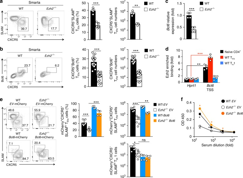 Ezh2 acts upstream of Bcl6 induction to promote T FH differentiation. a – b Impact of Ezh2 deficiency on monoclonal CD4 + T cell responses. CD45.2 + Smarta CD4 + T cells from WT or Ezh2 –/– Smarta-Tg mice were adoptively transferred into congenic mice, followed by infection with LCMV-Arm. On 4 dpi, CXCR5 + SLAM lo ( a ) and CXCR5 + Bcl6 + T FH cells ( b ) were detected in recipient spleens. Contour plots are representative of ≥2 experiments, and cumulative data on frequency and numbers of each subset are means ± s.d. (each dot represents a mouse). c Detection of Bcl6 transcripts in T FH cells. CD45.2 + CXCR5 + SLAM lo T FH cells were sorted from the recipient spleens on 4 dpi as in ( a ), and Bcl6 transcript was detected by quantitative RT-PCR. d Detection of Ezh2 binding to the Bcl6 promoter. WT CD45.2 + T FH and T H 1 cells were sorted from recipient spleens on 5 dpi , and together with WT naïve CD4 + T cells, were analyzed by ChIP with anti-Ezh2 antibody or control IgG. Enriched Ezh2 binding at the TSSs of Bcl6 or Hprt1 genes was determined by ChIP-qPCR. Data in c and d are means ± s.d. from ≥2 experiments. e – f Impact of forced expression of Bcl6 on T FH and antibody responses. WT or Ezh2 –/– Smarta CD4 + T cells were primed in vivo for 24 h and infected with empty vector ( EV )-mCherry or Bcl6 -mCherry retrovirus. Transduced Smarta CD4 + T cells were adoptively transferred into congenic mice, followed by LCMV-Arm infection ( e ), or into Bcl6 –/– recipients, followed by KLH-GP61 immunization ( f ). In e , mCherry + CXCR5 + SLAM lo T FH cells were detected in the recipient spleens on 3 dpi (corresponding to day 5 after initial priming), with representative contour plots and cumulative data on frequency and numbers of mCherry + CXCR5 + SLAM lo T FH cells shown. In f , KLH-specific IgG was detected in the recipient sera on day 8 post-immunization. All cumulative data are means ± s.d. * p