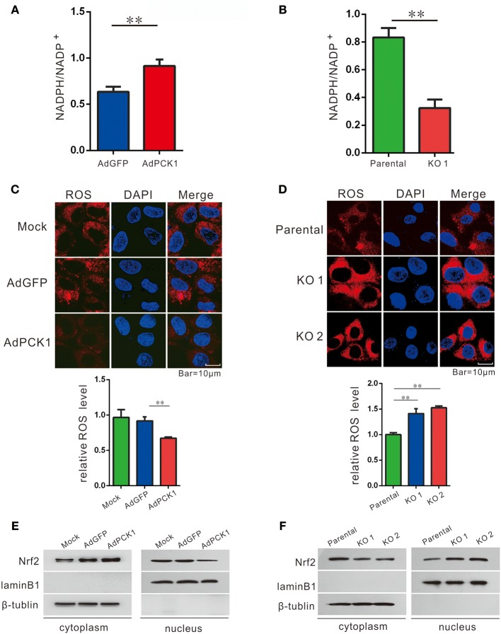 PCK1 suppresses oxidative stress in liver cancer cells. Relative ratios of <t>NADPH</t> to total <t>NADP</t> in PCK1-overexpressing cells (A) , and PCK1-KO cells (B) were measured by using an NADP/NADPH quantification kit (Abcam). Fluorescent labeling of ROS (red) in the cytoplasm, nuclei were stained with DAPI (blue). Scale bar = 10 μm. ROS levels in PCK1-overexpressing cells (C) , and PCK1-KO cells (D) were detected, and the relative fluorescence intensities were determined after normalization to mock-infected or parental cells. Data are represented as the mean ± SD ( n = 3, technical replicates; ** P