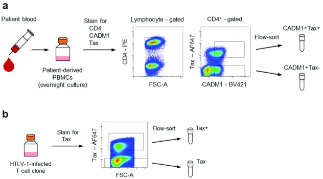 Overview of the cell preparations. ( a ) Preparation of Tax + and Tax – populations from PBMCs obtained from HTLV-1-infected patients. PBMCs were stained for CD4, CADM1 and Tax after overnight culture. Tax + and Tax – fractions were collected from the CADM1 + population. ( b ) Preparation of the Tax + and Tax – populations from HTLV-1-infected T cell clones. HTLV-1-infected T cell clones were stained for intracellular Tax and sorted according to Tax expression.