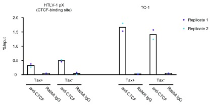 CTCF occupancy in the HTLV-1 provirus in patient-derived PBMCs. CTCF occupancy was examined by droplet digital PCR following ChIP for CTCF. The experiment was carried out on PBMCs after overnight incubation in vitro . Replicate 1 is obtained from pooled samples of 4 patients (TCR, TEJ, TED and TW) and Replicate 2 from 3 patients (TED, TCR and TEJ).